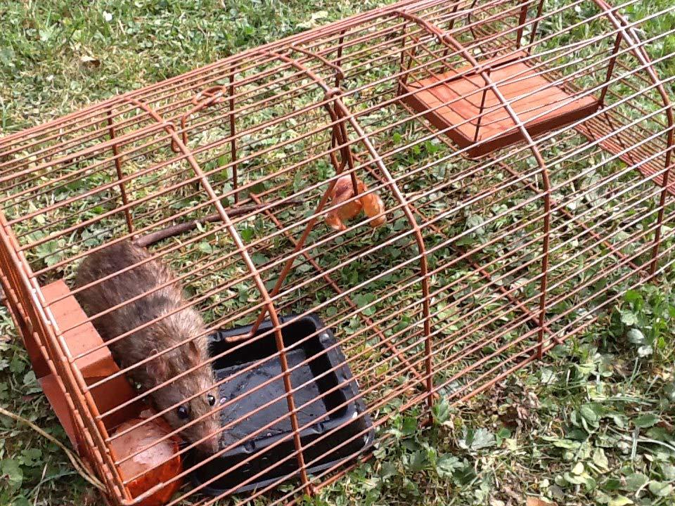 Ratten im Käfig